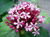 clerodendrum bungei mexicanhydrangea theroseglorybower