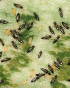 вредитель комнатных растений белокрылка и борьба с нею