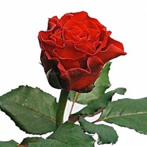 роза эль торо описание и фото