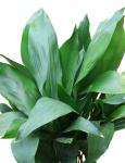 Аспидистра - это род бесстебельных травянистых многолетних растений семейства...